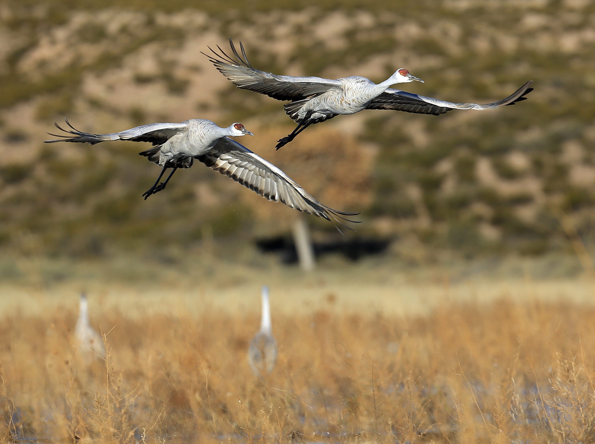 A pair of Sandhill Cranes come in for a landing in the Crane Pond at Bosque del Apache National Wildlife Refuge.