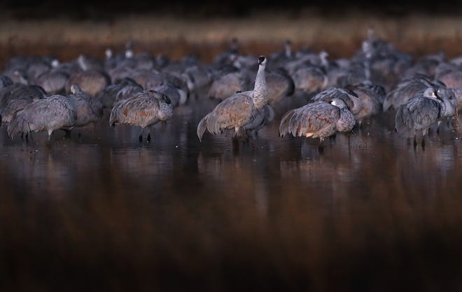 A Sandhill Crane awakens in the early morning hours as the others sleep. Frigid mornings cause the water to freeze around the birds' legs.
