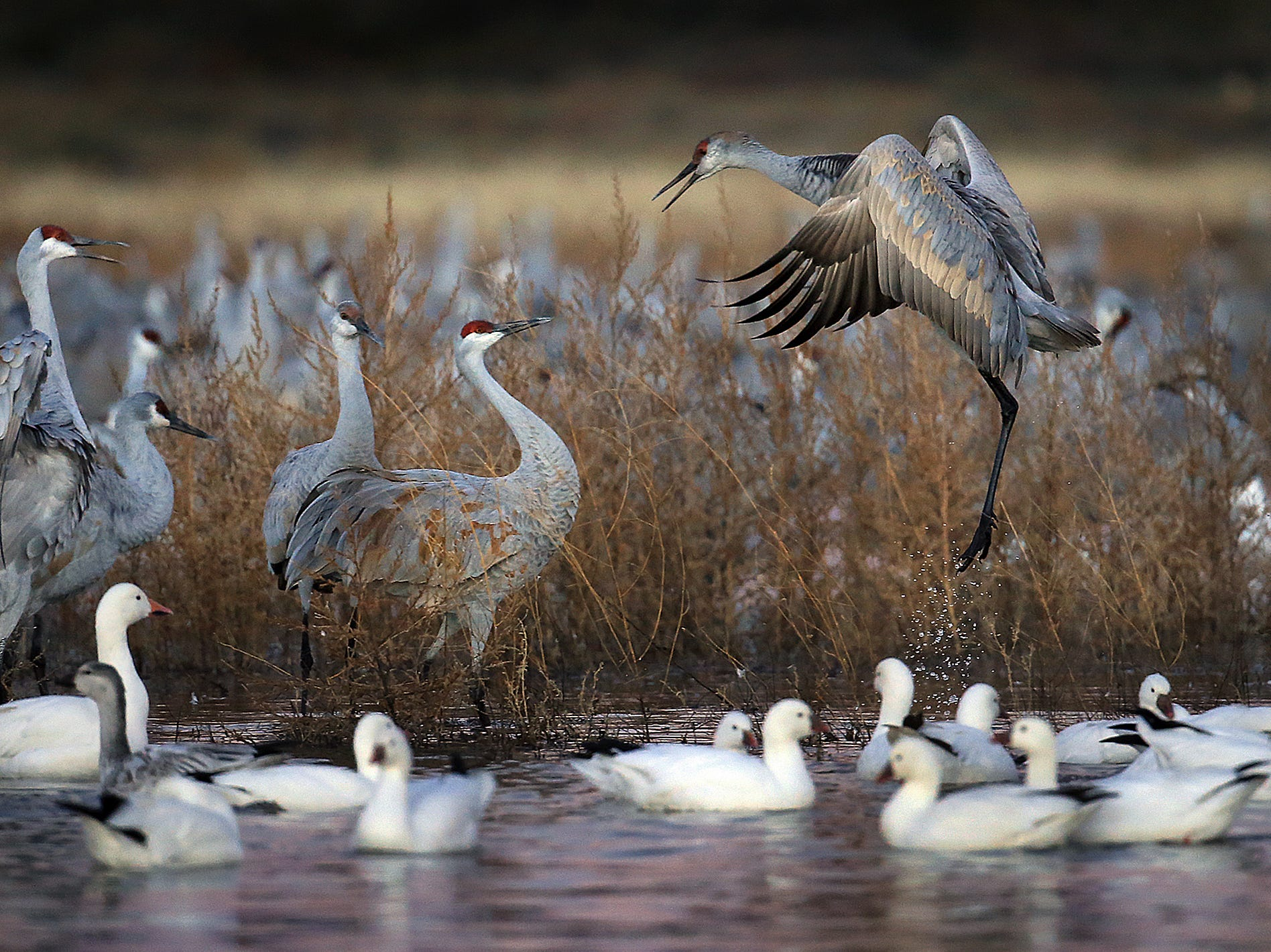 A Sandhill Crane takes flight at the Crane Pond on the north end of Bosque del Apache National Wildlife Refuge. Tens of thousands of cranes us the bosque as a resting spot during their annual migration. Snow Geese mix with the cranes after their morning fly in.