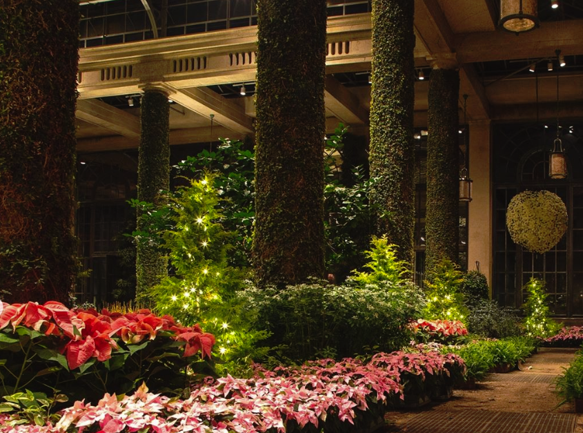 During the three days before Thanksgiving, the conservatory is transformed from mums to Christmas.