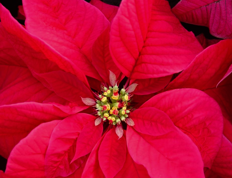 Throughout the display, you'll see over 15,000 potted holiday plants, including more than 900 poinsettias.