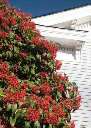 Chinese photinias are far superior to redtips. They are much more resistant to the Entomosporium fungal leaf spot that has rendered redtips as almost useless landscaping shrubs all over America.