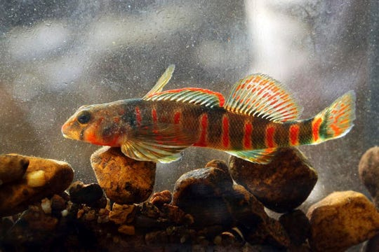 The vibrant, endangered candy darter is the target of conservation efforts.
