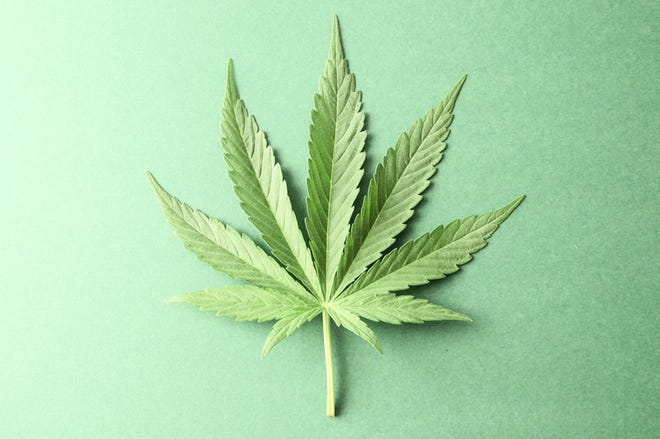 Green fresh marijuana leaf