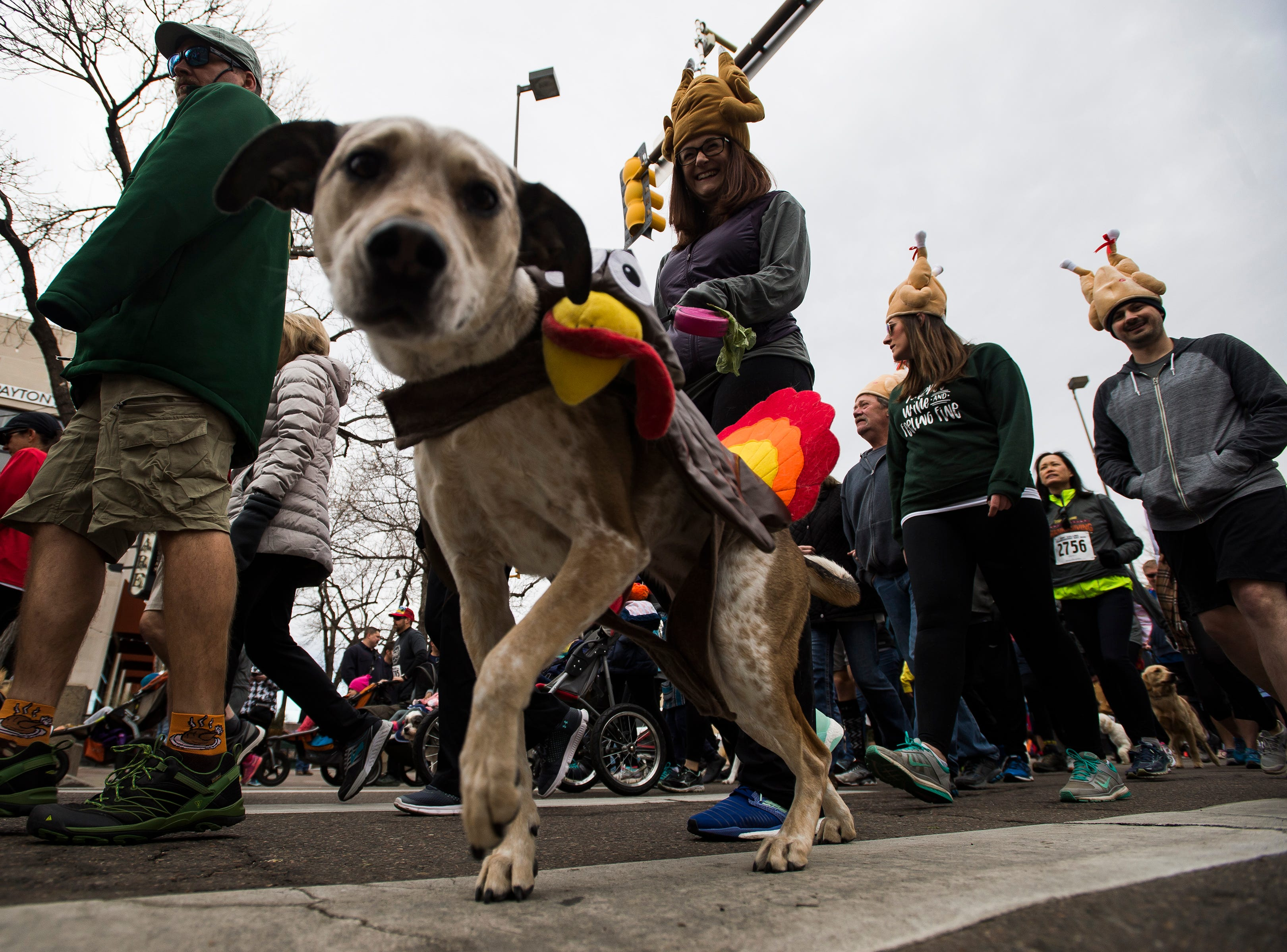 A canine participant wears a festive turkey outfit during the Fort Collins Thanksgiving Day Run on Thursday, Nov. 22, 2018, in Old Town Fort Collins, Colo.