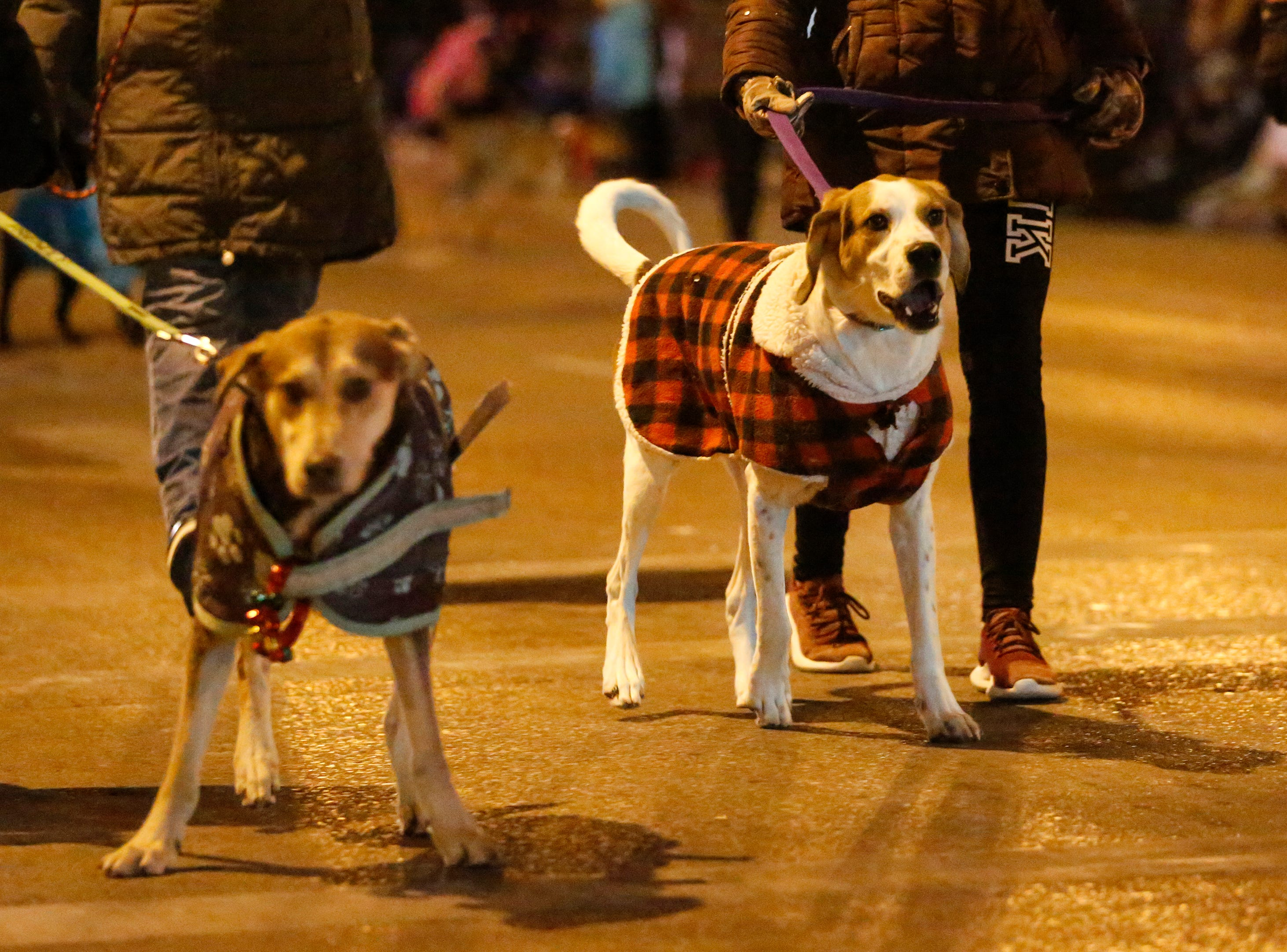"Dogs from the Lakeshore Humane Society walk in the 30th Annual Lakeshore Holiday Parade Wednesday, November 21, 2018, in Manitowoc, Wis. This year's theme was ""Christmas Through the Decades."" Joshua Clark/USA TODAY NETWORK-Wisconsin"