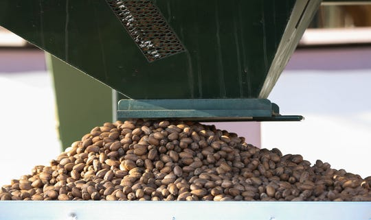 Pecans are sorted and dropped into a large container at the Dixie Ranch Pecan Farm, Wednesday November 21, 2018.
