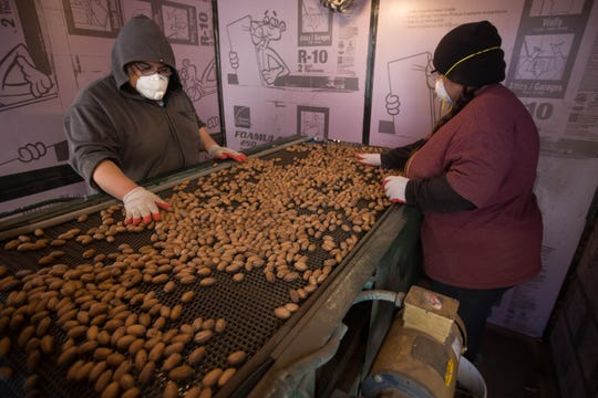 Cristian Solid, left, and Victoria Vasquez, right, sort pecans in the last phase of the sorting processes at Dixie Ranch Pecan Farm, Wednesday November 21, 2018.