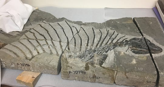 Scientists say the gordodon is the oldest specialized plant-eating reptile. This fossil was discovered near Alamogordo.