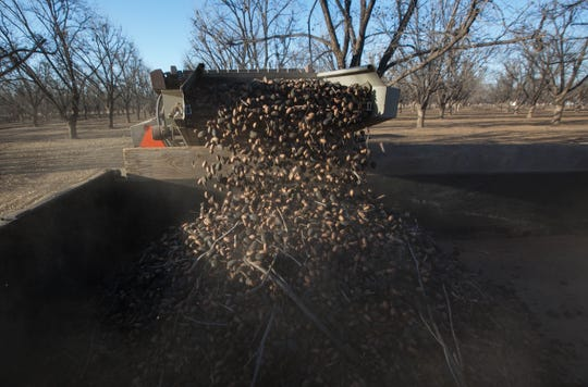Pecans pour from the back of a harvester at the Dixie Ranch Pecan Farm, south of Mesilla, on Wednesday November 21, 2018.