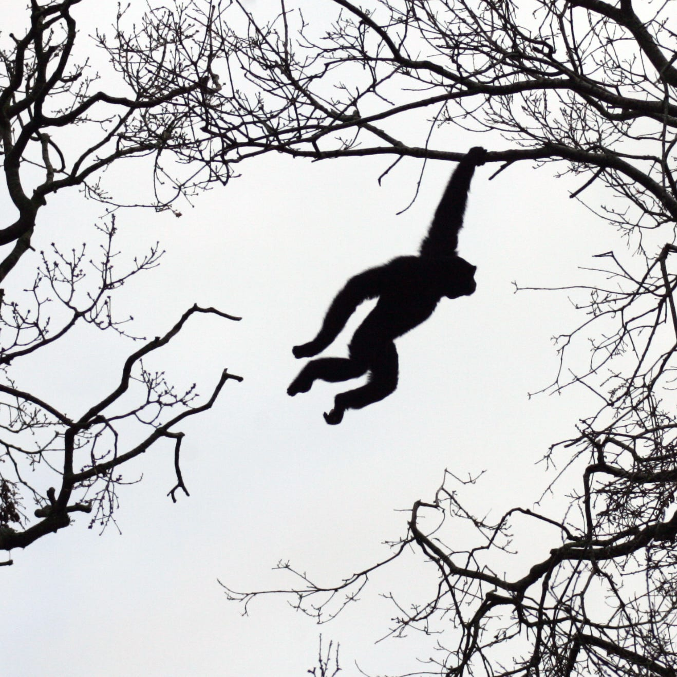 A siamang gibbon is shown here swinging through trees in county Cork, Ireland. Eloise, a 37-year-old siamang gave birth to a baby at the San Diego Zoo in November, despite having been on birth control for years.