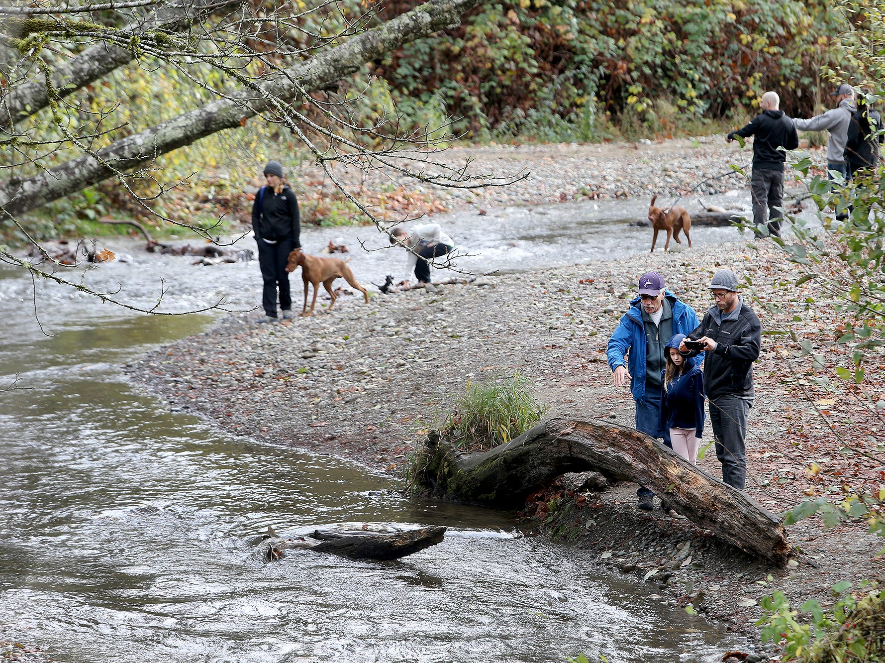 Salmon viewing at the Chico Salmon Park on Friday, November, 23, 2018. Chico Creek has finally gotten enough rain for the chum salmon to spawn.