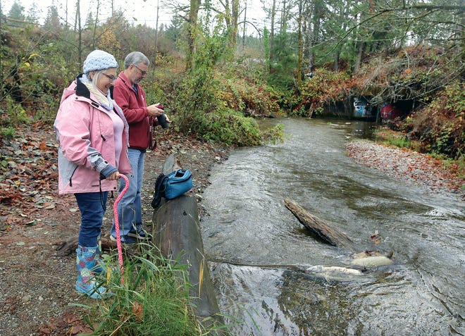 Patricia and Daryll Brady of Bremerton watch salmon in Chico Creek on Friday. Chico, usually one of Kitsap's most productive salmon streams, likely will have a run about one-third of a normal year, thanks to a dry summer and fall.