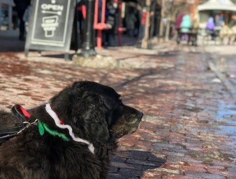 A dog relaxes on Church Street before the Santa Parade begins. Nov. 23, 2018.