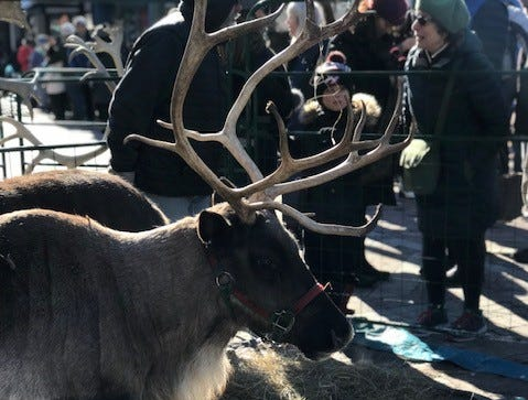 A reindeer stands on Church Street before Santa Parade begins, Nov. 23, 2018.