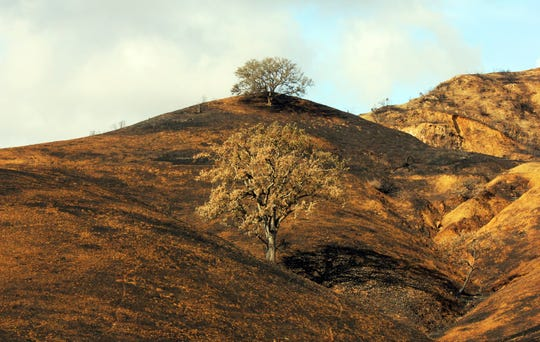 In this Thursday, Nov. 22, 2018, photo, two oak trees stand on a rain-soaked, burned-over hillside following the Woolsey Fire in Agoura Hills, Calif.