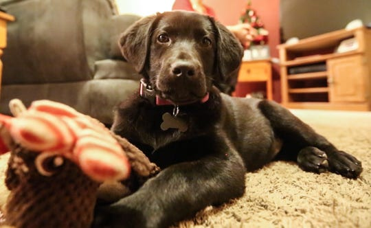 Oaklynn is a black lab puppy that Dustin Smits and Whitney Schickert of Friesland recieved from Dawn Revels of Brandon. Dawn is the recipient of Dustin's mother's heart.  Doug Raflik/USA TODAY NETWORK-Wisconsin