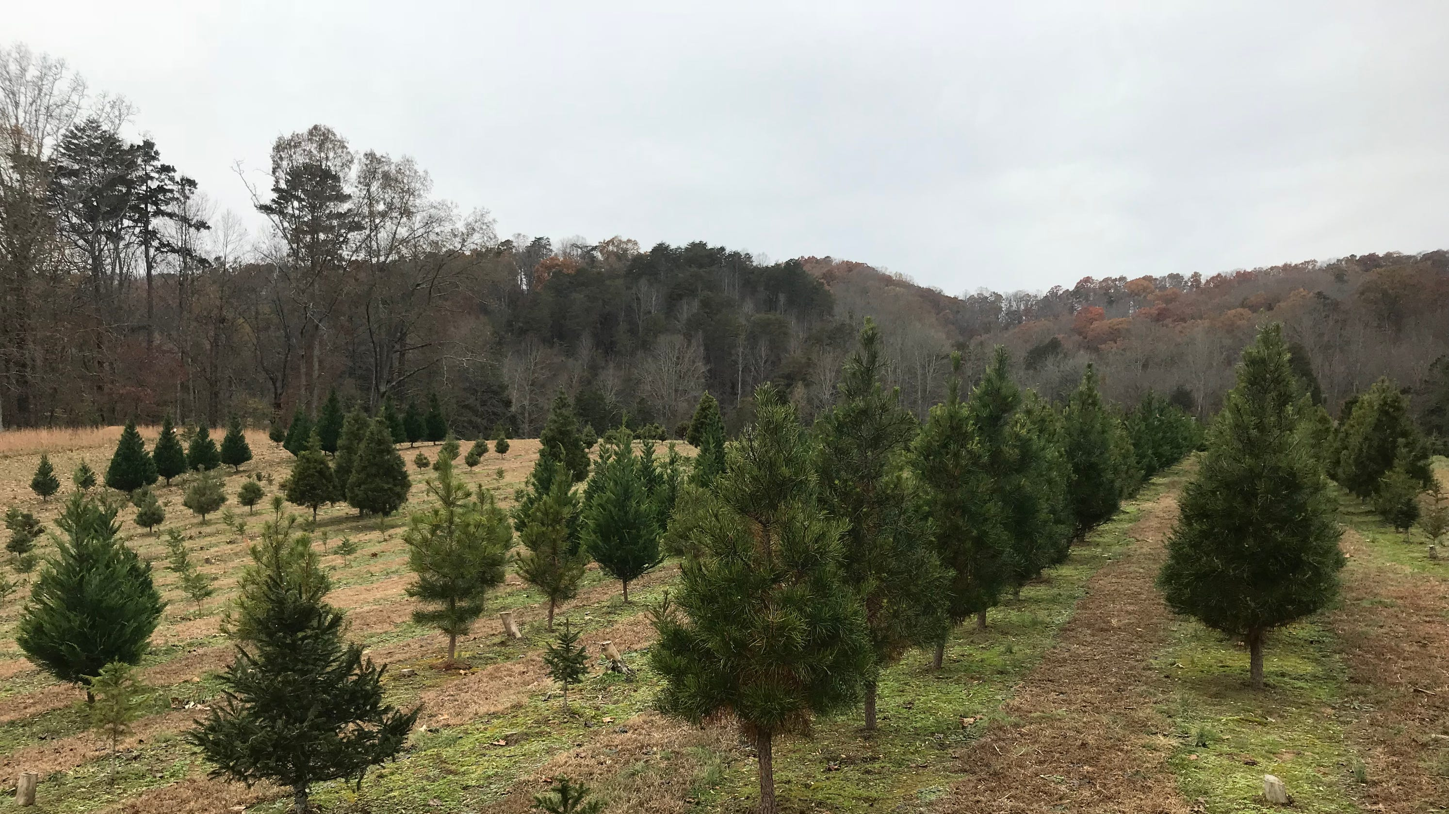 Christmas trees: What you should know about choosing a tree