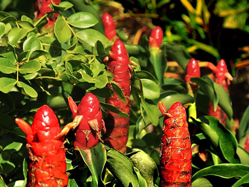 The Crepe Ginger plant is featured in the Caribbean Garden located inside Naples Botanical Gardens.