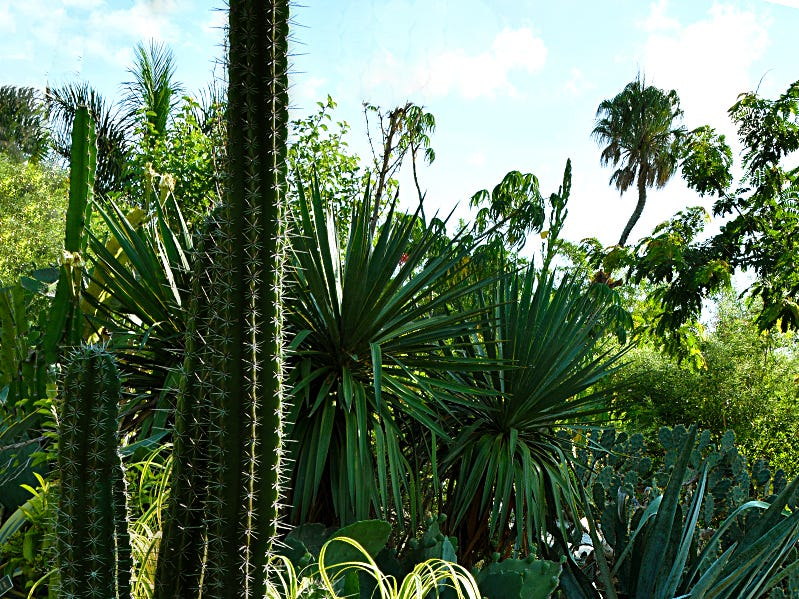 The tall euphorbia trigona cactus is a cactus-like family that is found in Africa and temperate zones around the world. Euphorbias from the deserts of Southern Africa and Madagascar have evolved physical characteristics and forms similar to cacti of North and South America. This plant can be seen in the succulent garden of Naples Botanical Garden.