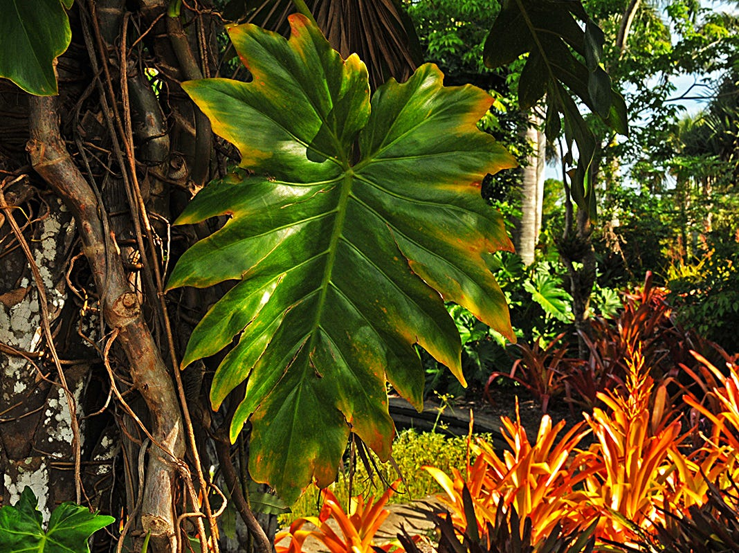Growing in the Naples Botanical Gardens is a plant known as the Fruit Salad, or Mexican Breadfruit plant. The species of flowering plant is native to tropical rain forests of southern Mexico to southern Colombia.