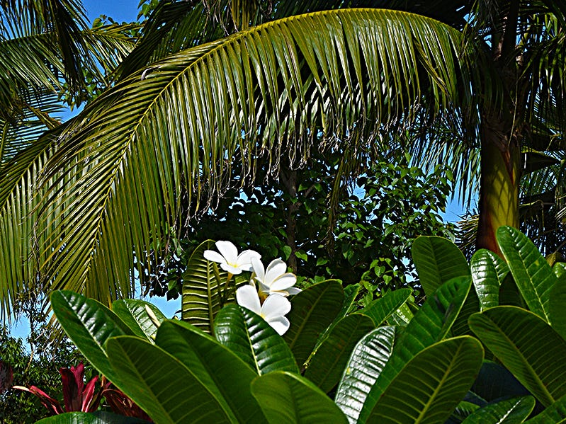 The Plumeria Golden Arrow is in abundance at Naples Botanical Gardens. Native to Panama, Colombia and Venezuela, this profuse bloomer has unusual spoon-shaped leaves.