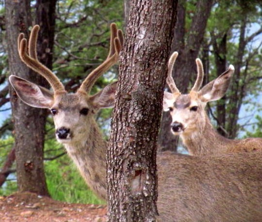 Mule deer herds were in residence in the Ruidoso area long before elk herds arrived in large numbers.