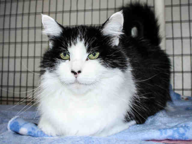 Samantha is a lovely senior girl who has been waiting at the shelter since lastFebruary. Samantha is very socialand loves attention. She is spayed and must liveinside only. Samantha requires a renal diet, readily available at any veterinarian. For that reason she is separated from the other cats at the shelter. She gets alongwell with cats, though, and would be a perfect companion to another cat on a renal diet.Samantha would do well in a quieter home with a nice lap to sit on.You can meet Samantha at the Humane Society of Ventura County in Ojai.Her adoption fee of $75 includes vaccinations, free veterinariancheck, feline leukemia test,microchip implantation, ID tag and a very loving and grateful new familymember.For more information on Samantha or other available animals, or to volunteer,call 805-646-6505 or visit www.hsvc.org.The shelter is at 402 Bryant St.,Ojai. Hours are 10 a.m. to 5 p.m. Monday through Saturday. The board members, staff and volunteers of the Humane Society of Ventura Countywish to express our thanksfor the support and assistance received for the animals during thispast twodifficult weeks.