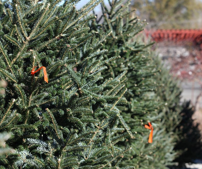 Christmas trees at Willey Farms