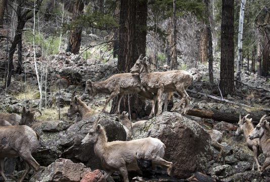 Rocky Mountain Bighorn Sheep Forest Health