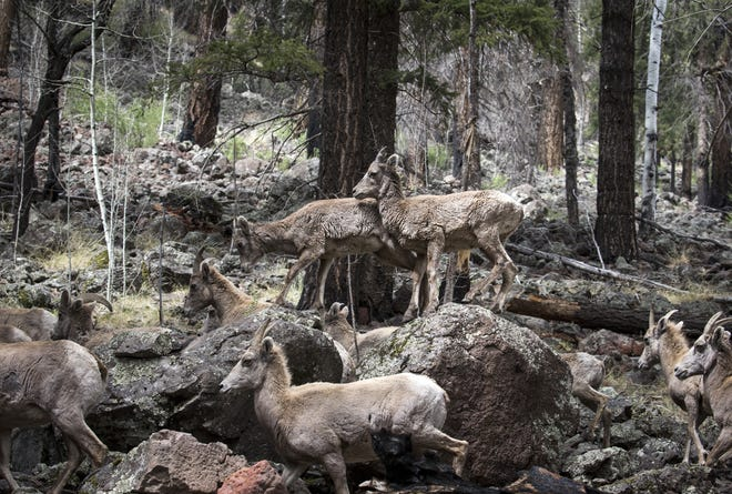 A herd of Rocky Mountain Bighorn Sheep, May 2, 2018, near the East Fork Black River in the Apache-Sitgreaves National Forests.