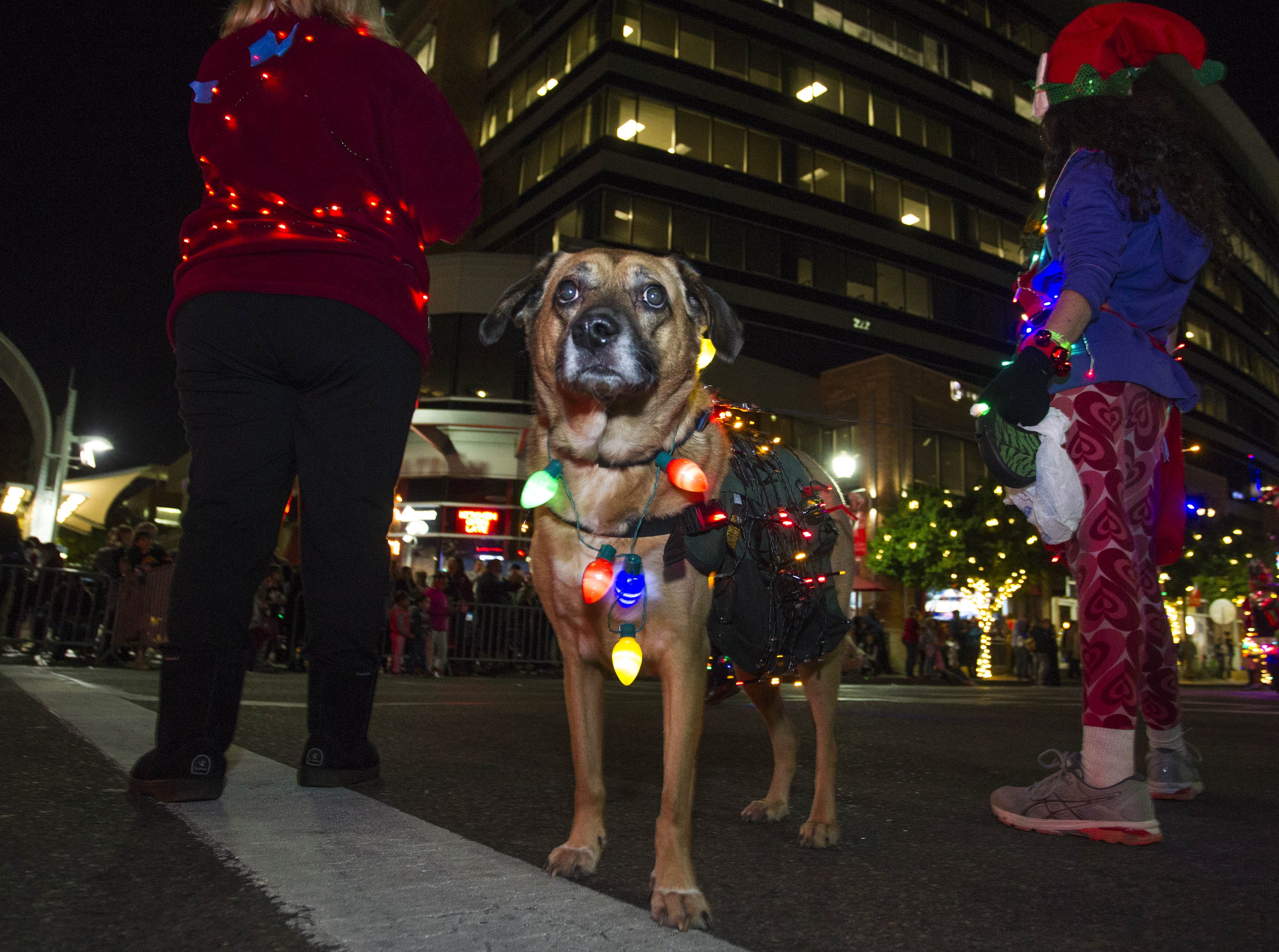 Chester waits to do his part in the 2018 Fantasy of Lights Parade on Mill Ave. in downtown Tempe Friday, Nov. 23, 2018.