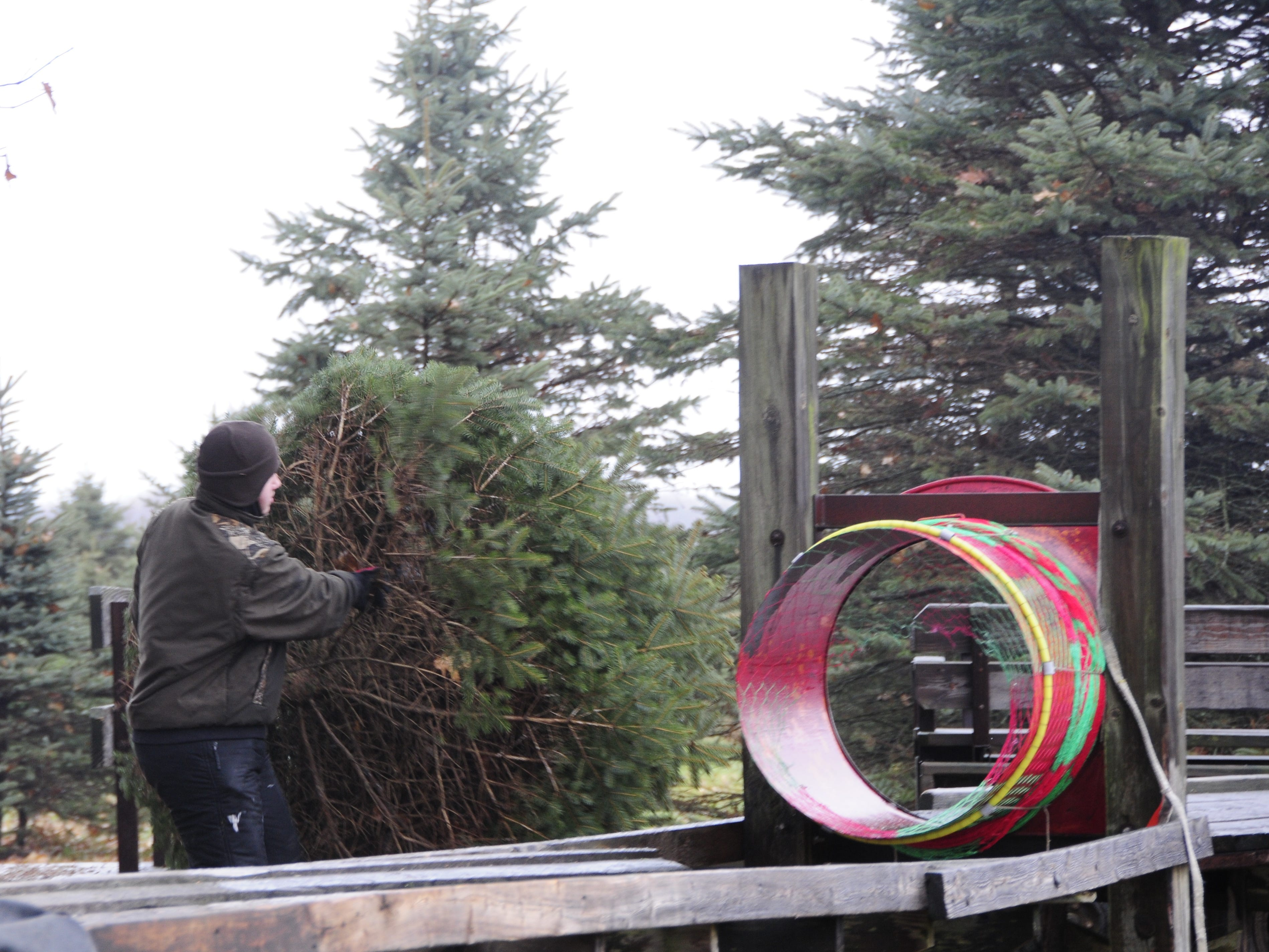 Ian Dunsmore moves a Christmas tree to the baling machine at Dunsmore Blue Spruce Tree Farm in Smiths Creek.
