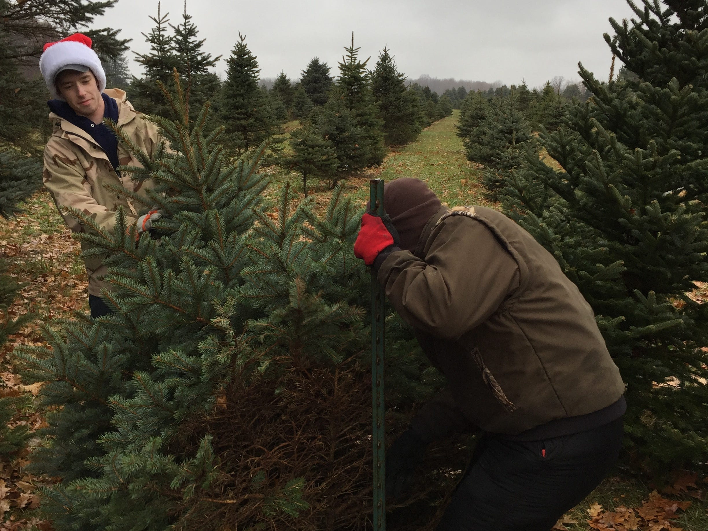 Josh Green, left, and Ian Dunsmore set up pre-cut Christmas trees at Dunsmore Blue Spruce Tree Farm in Smiths Creek.