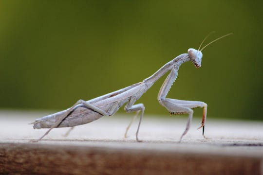 The forelegs of a Praying Mantis are rather thick and long, and have multiple sharp spikes.