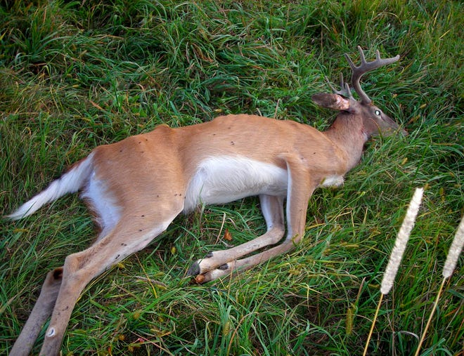 This 2½-year-old buck was found dying of chronic wasting disease in Iowa County, Wis. Iowa County is one of the hardest hit locations for CWD in Wisconsin.