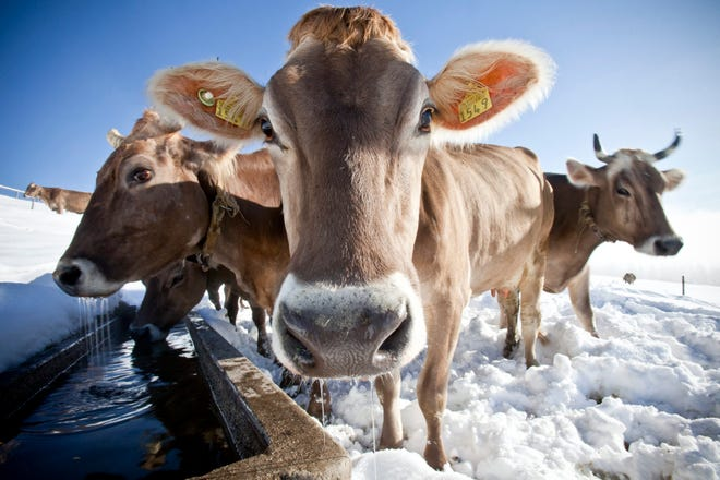 Cows standing the snow.