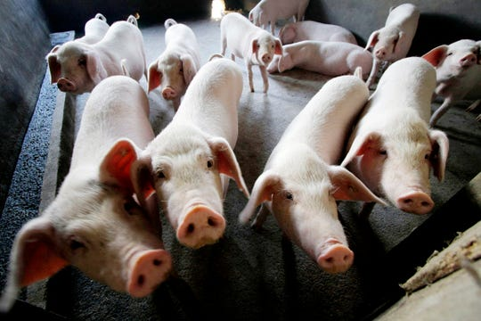 Reeling from rising feed costs in Beijing's tariff fight with U.S. President Donald Trump, Chinese pig farmers face a new blow from an outbreak of African swine fever that has sent an economic shockwave through the countryside.