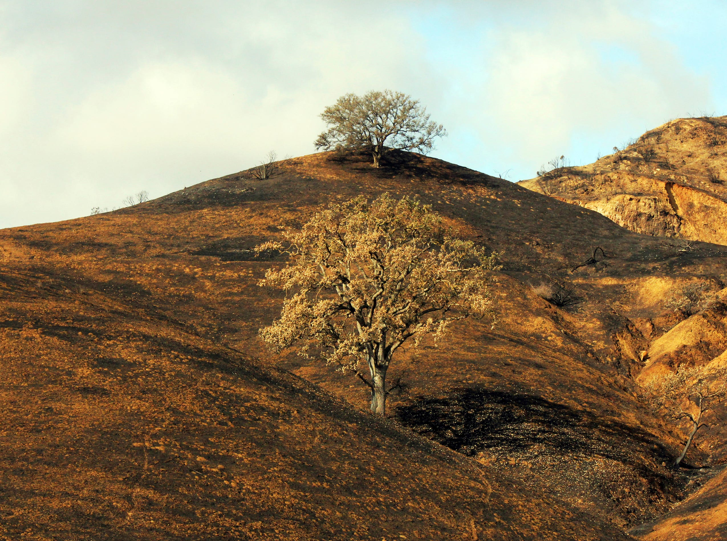 In this Thursday, Nov. 22, 2018, photo, two oak trees stand on a rain-soaked, burned-over hillside following the Woolsey Fire in Agoura Hills, Calif. In Southern California, more residents were allowed to return to areas that were evacuated due to the 151-square-mile Woolsey Fire as crews worked to repair power, telephone and gas utilities. A storm on Thanksgiving Day passed without causing significant mudslides, but forecasters said more rain was possible next week.