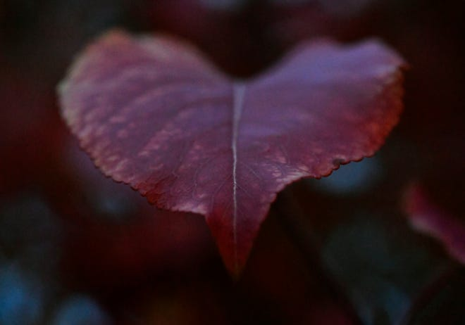 A leaf from a Bradford pear tree in south Abilene Saturday.