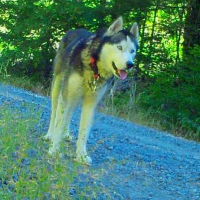 Volunteers have been searching for this husky missing in the woods near Detroit since August.