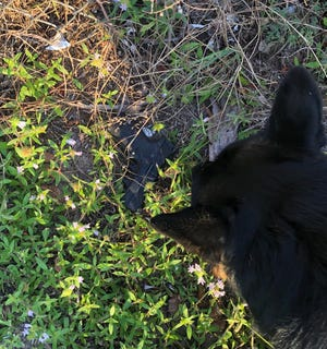 Indian River County Sheriff's Office K9 Ruckus helped find a stolen gun a boy tossed while fleeing from a stolen car Nov 21, 2018.