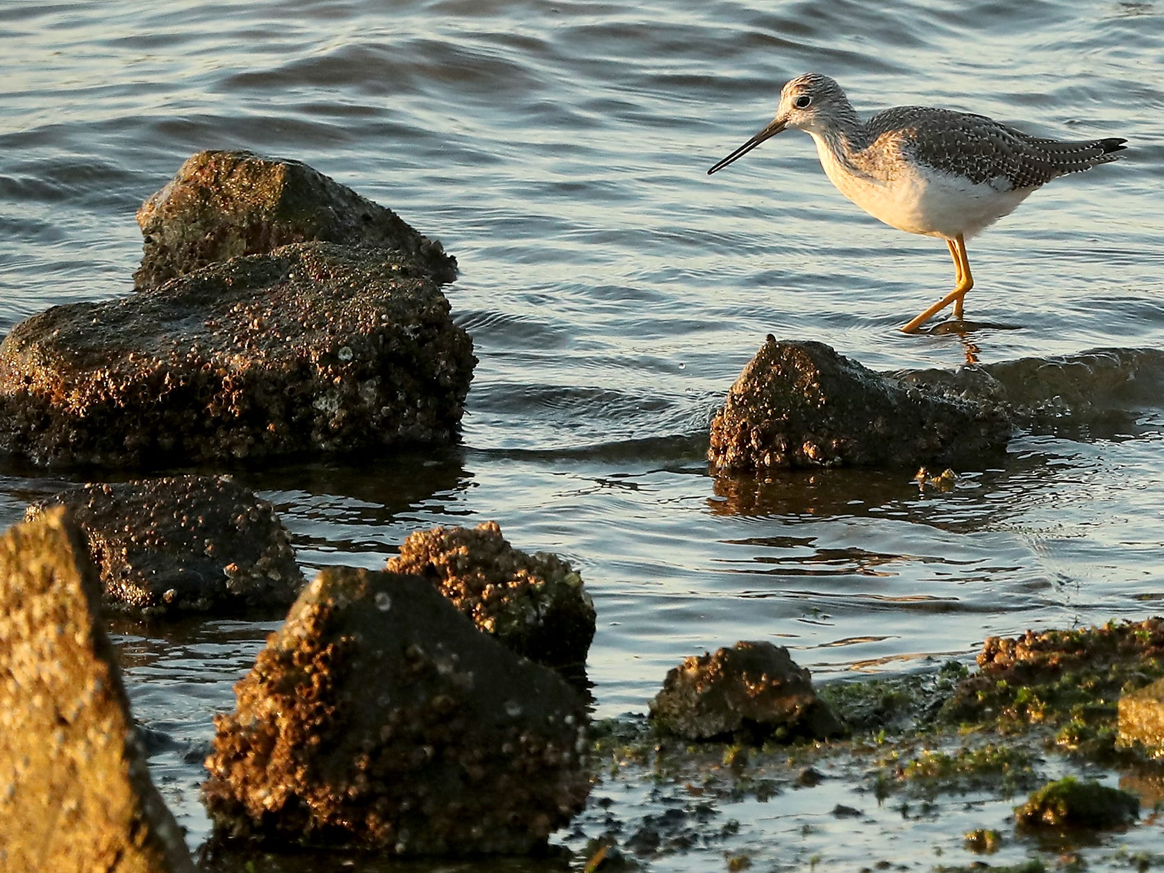 A greater yellowlegs picks its way along the rocky shore at the Tracyton Boat Launch on November 16, 2018.