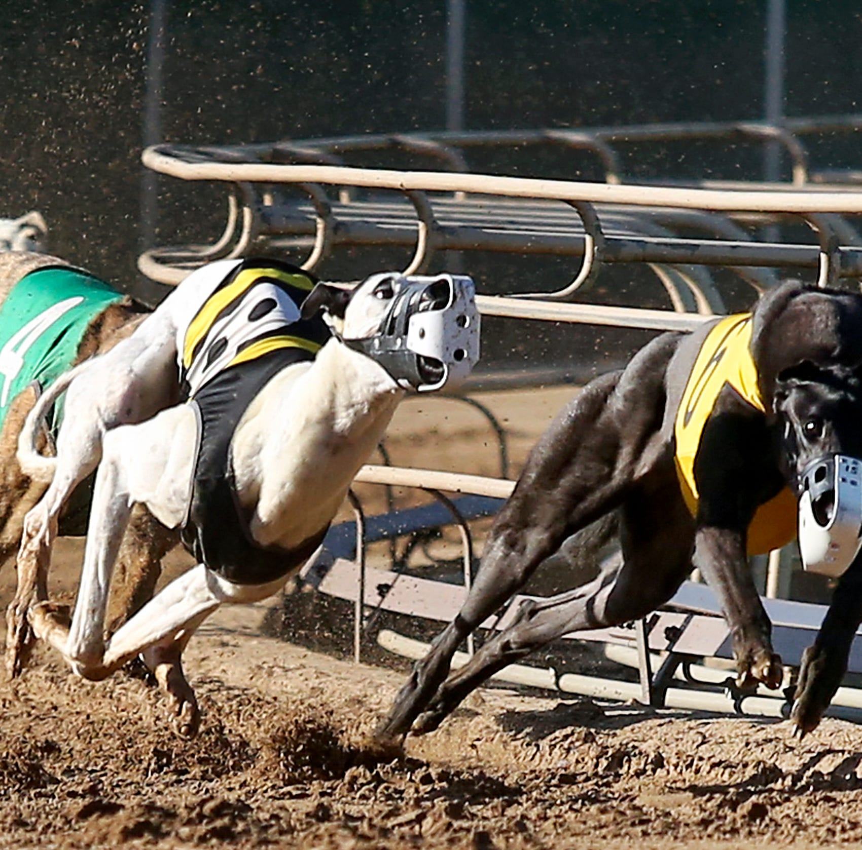 Greyhound racing is illegal in China. So why were the dogs of Iowa's top breeders being sold there?