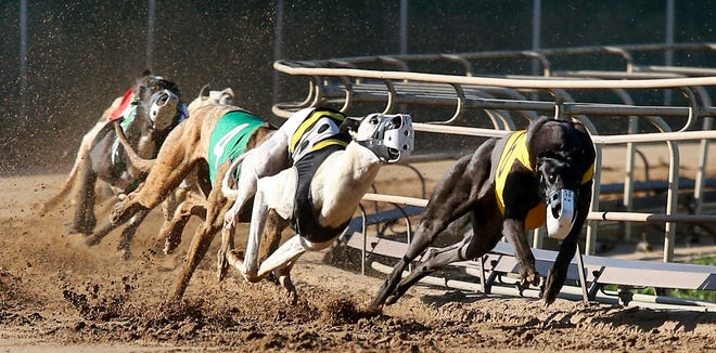 Greyhounds compete in a race at Iowa Greyhound Park in Dubuque on Saturday, May 26, 2018.