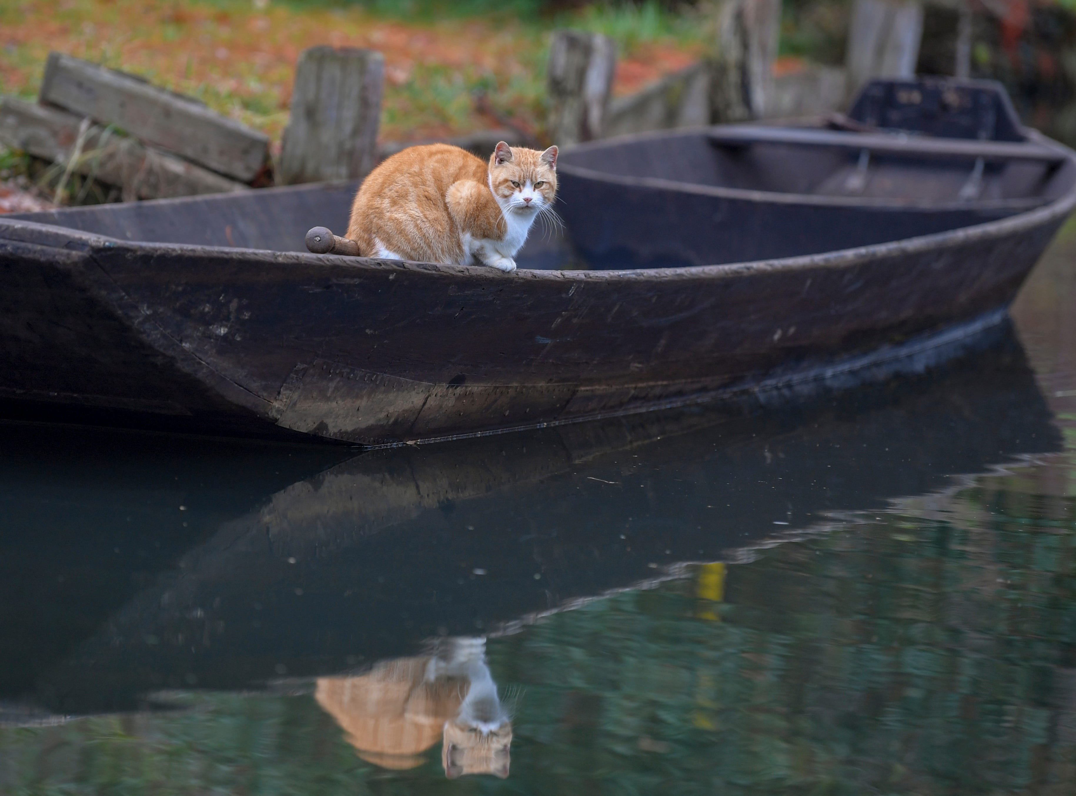 A cat is mirrored in the water as it sits on a boat in Lehde, Germany, Monday, Nov. 26, 2018.