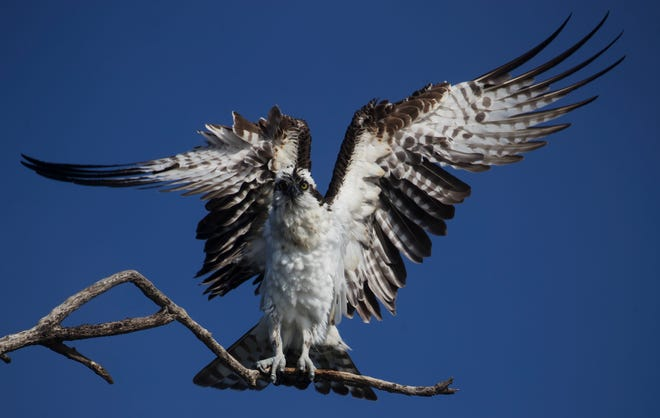 An osprey dries off on a dead snag at Bowditch Point Park on the North end of Fort Myers Beach last month. Coastal species seem to be in small numbers after a particularly strong red tide.