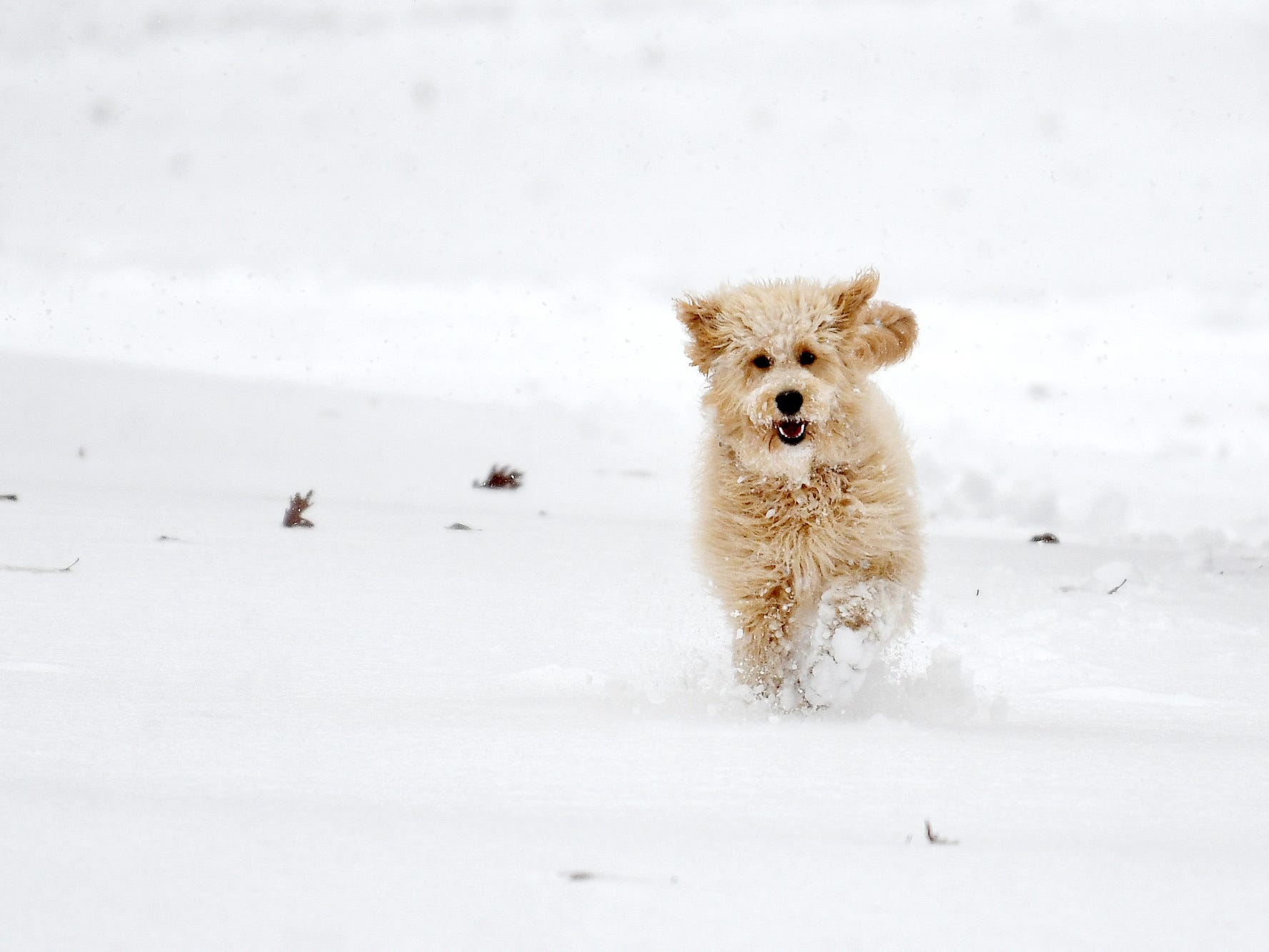 Layla, a Goldendoodle, plays in the snow while on a walk with her owner and Michigan State University faculty member Alexa Veenema on campus on Monday, Nov. 26, 2018, in East Lansing.