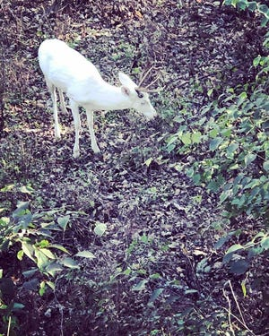 Amy Henderson Hall took this photo of an albino deer she spotted in the woods on Nov. 17.