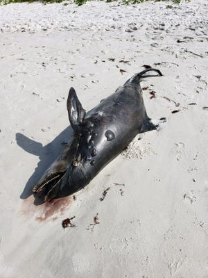 A dead dolphin is washed up on the beach south of Lowdermilk Park close to North Lake Drive in Naples on Sunday, Nov. 25, 2018.